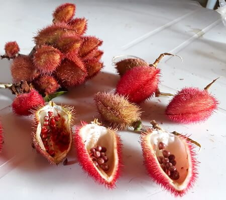 aldeia indigena pitaguary pacto combonianos brasil vermelho urucum